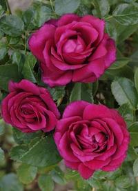 La rose Lalande de Pomerol sera baptisée cette année