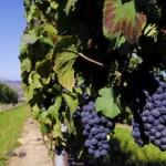 Pinot Noir et Gamay: les deux principaux cépages des Côtes d'Auvergne