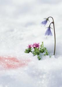3 trésors : l'algue des neiges, la soldanelle des Alpes et la saxifrage pourpre