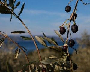 Une branche d'olivier