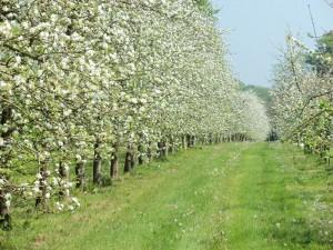 Quand les pommiers sont en floraison....
