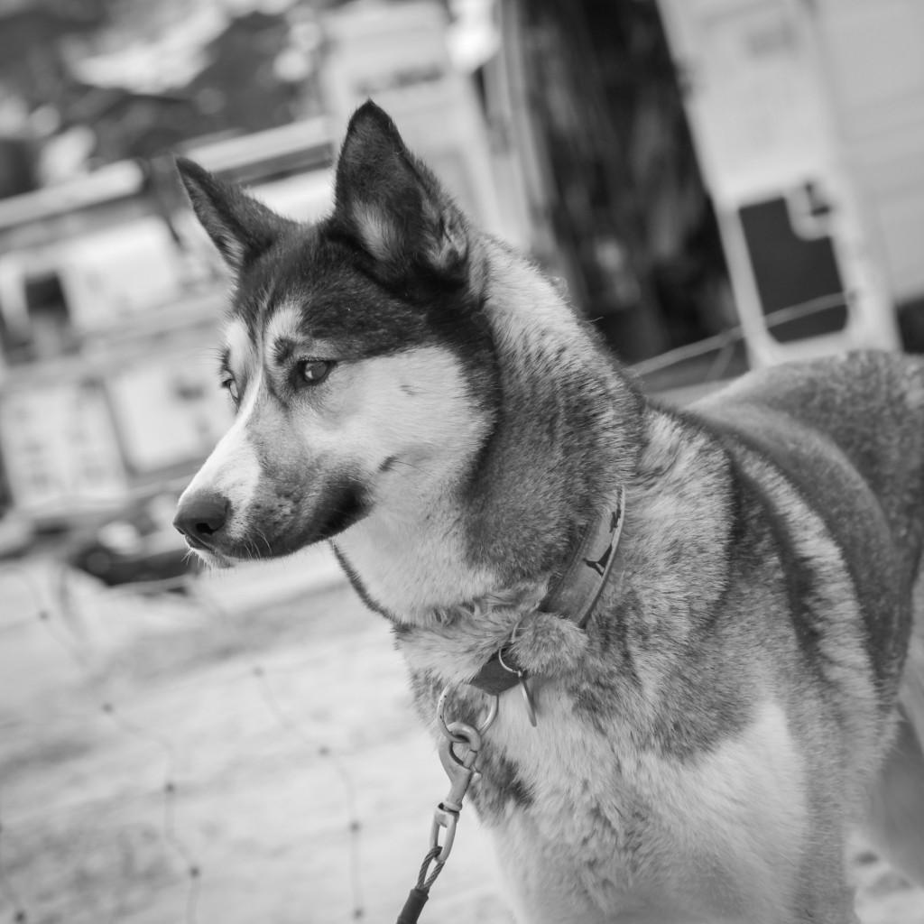 Un husky photographié par S Garnier