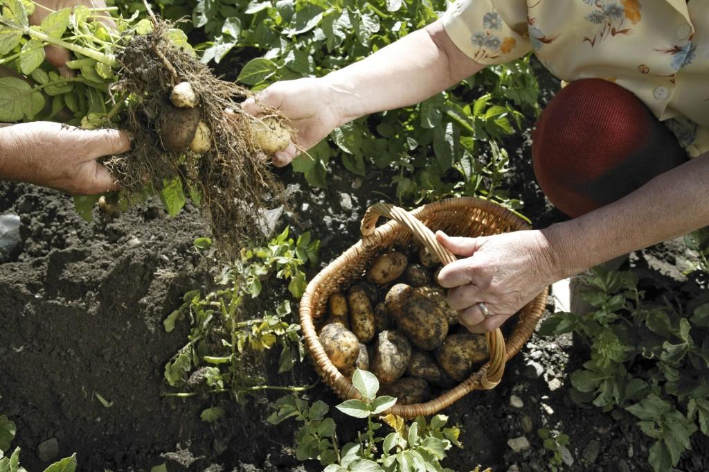 Récolte des pommes de terre nouvelles