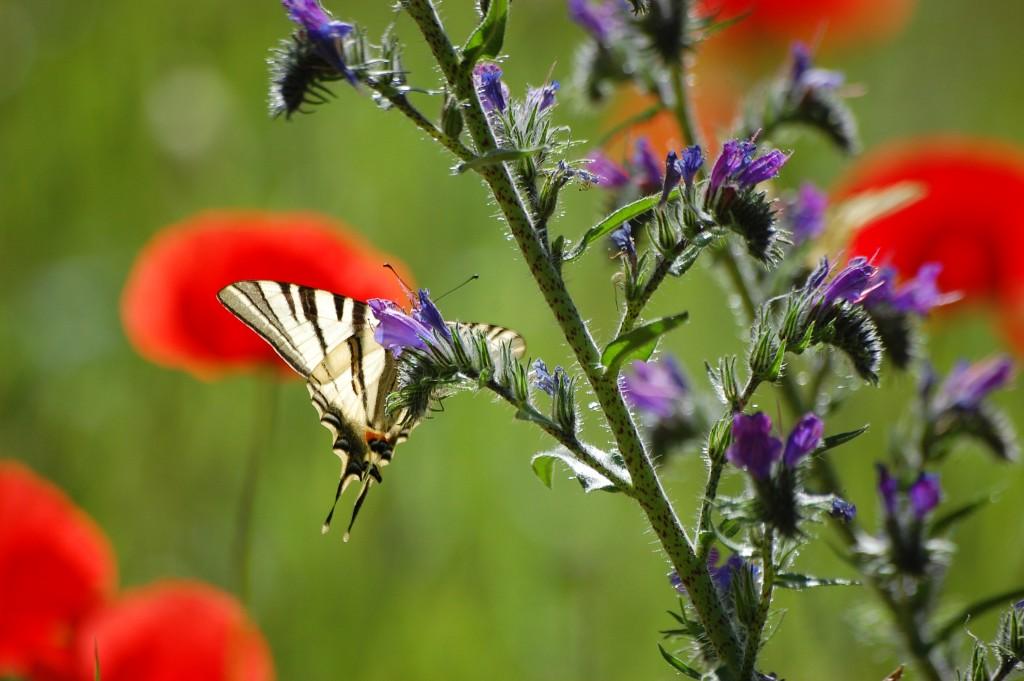 Papillon le flambé