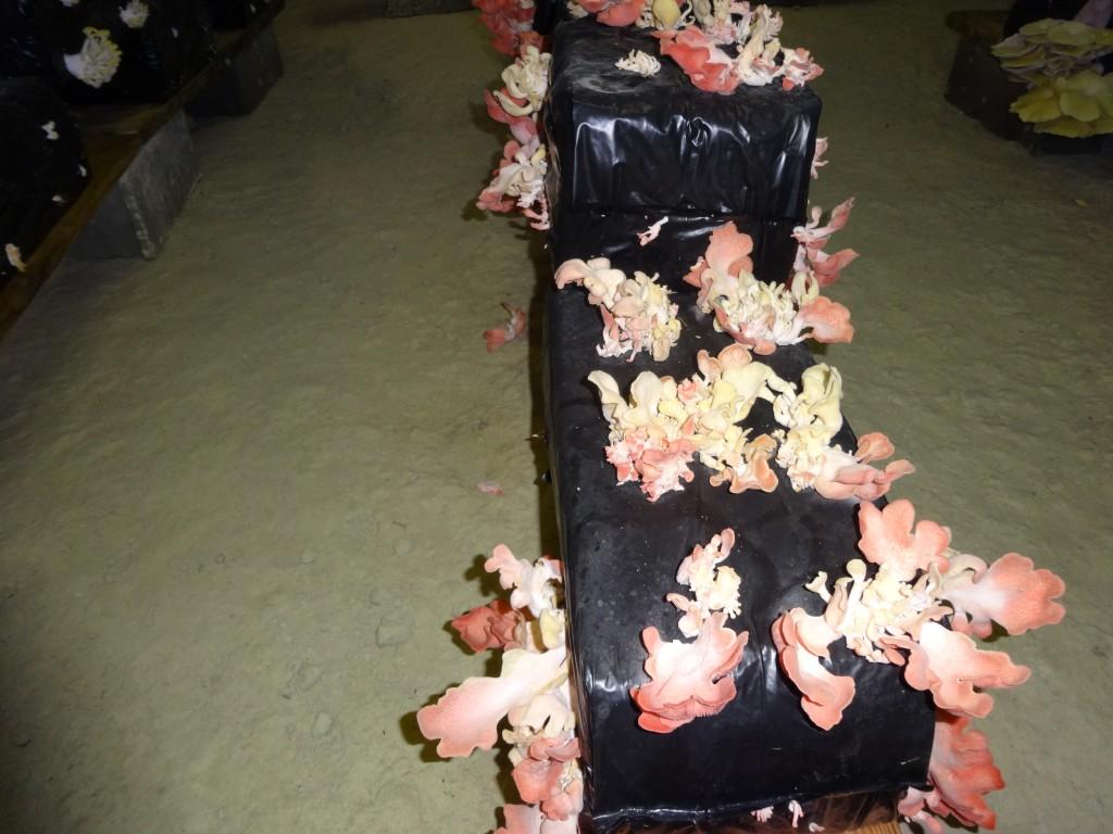 Pleurotes roses