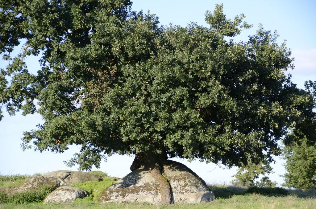 Chêne dans les Deux Sèvres