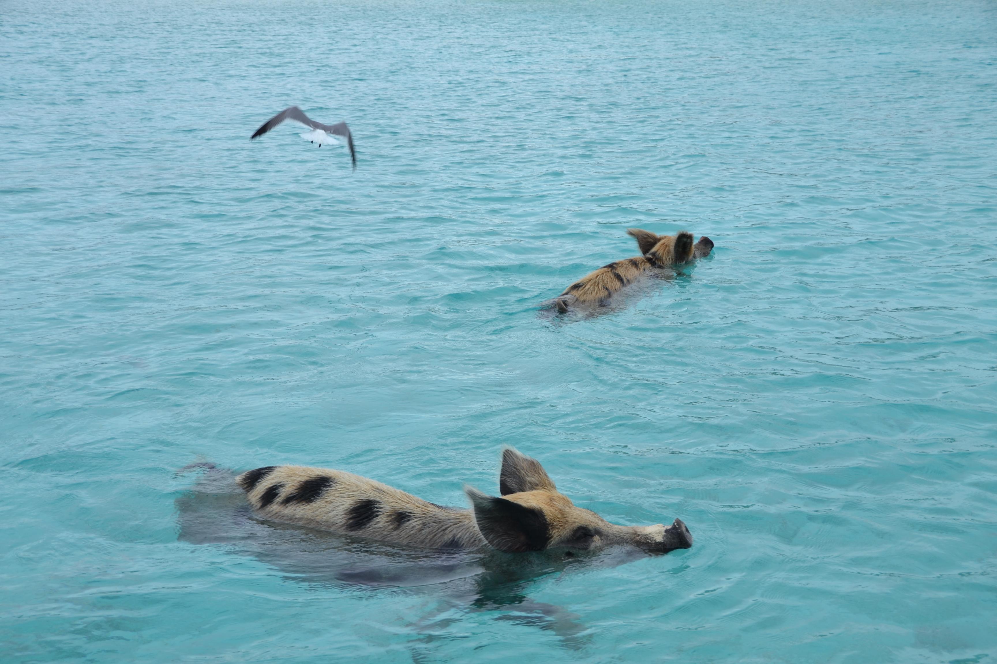 cochons nageurs des bahamas