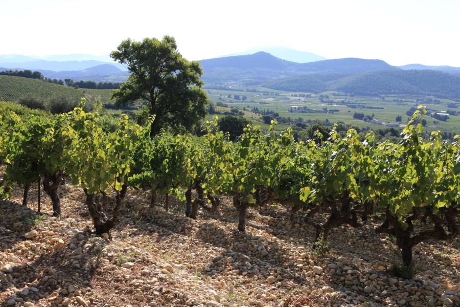 Vignobles et le Mont Ventoux au fond