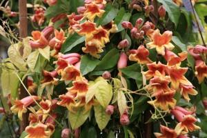 Le bignonia capreolata