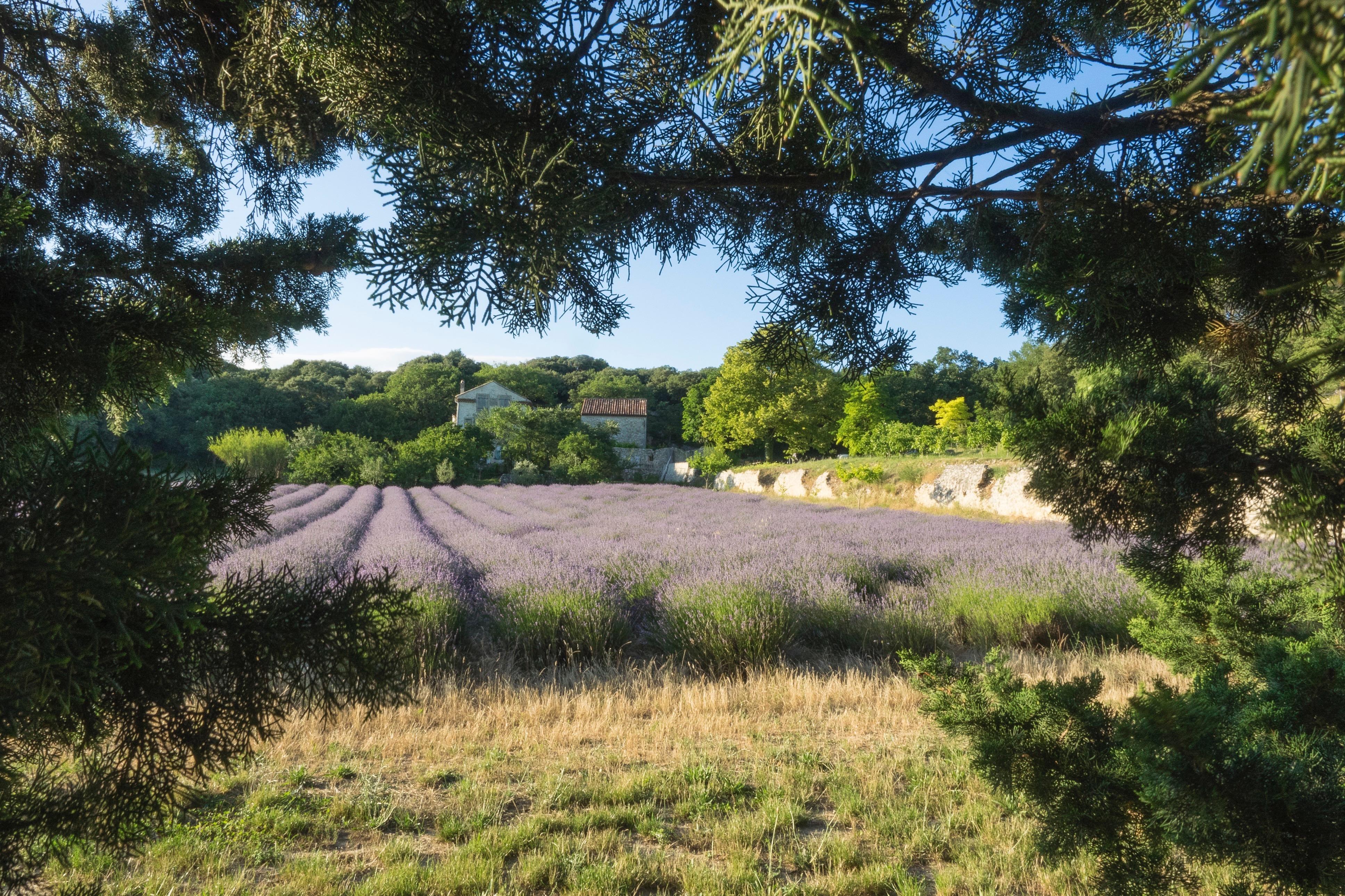 La ferme du Baume des Anges et un champ de lavande