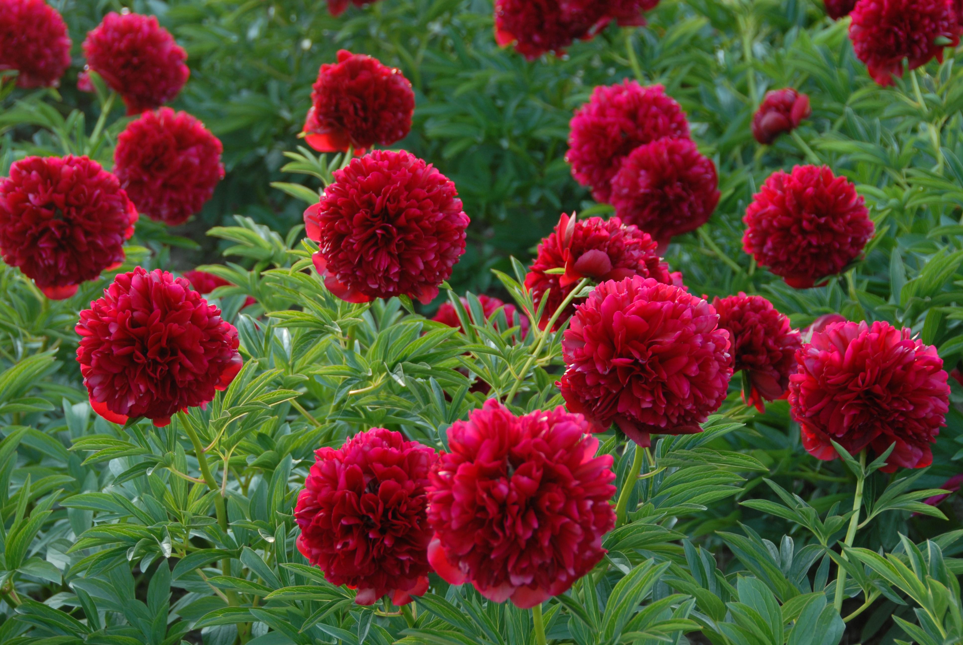 Fleurs rouges vivaces - Plante fleur rouge ...