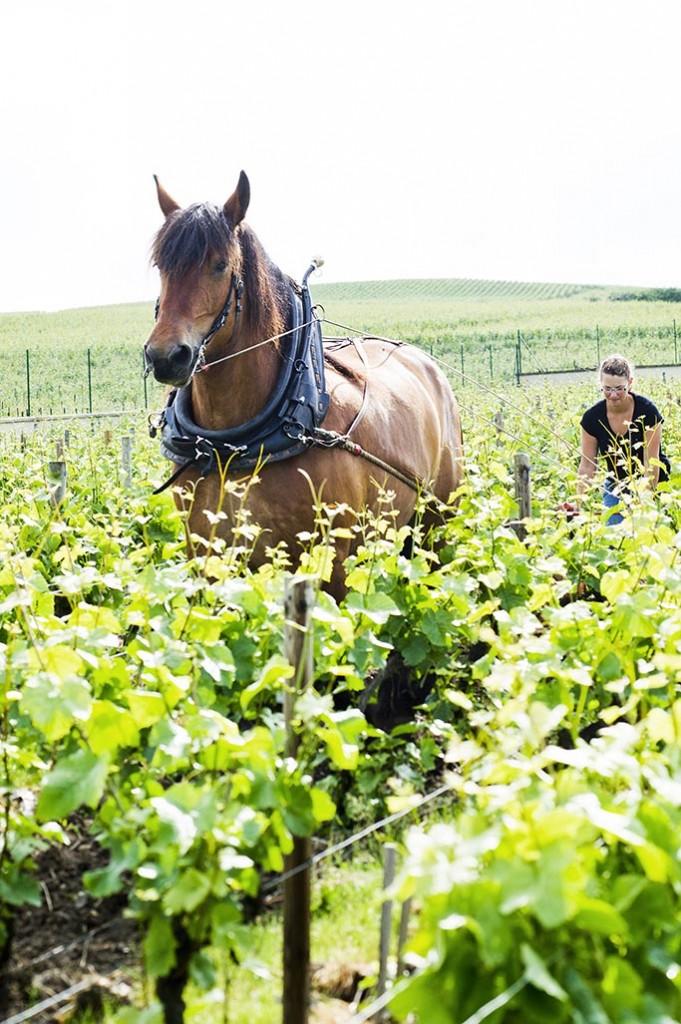Travail dans les vignes avec un cheval de trait