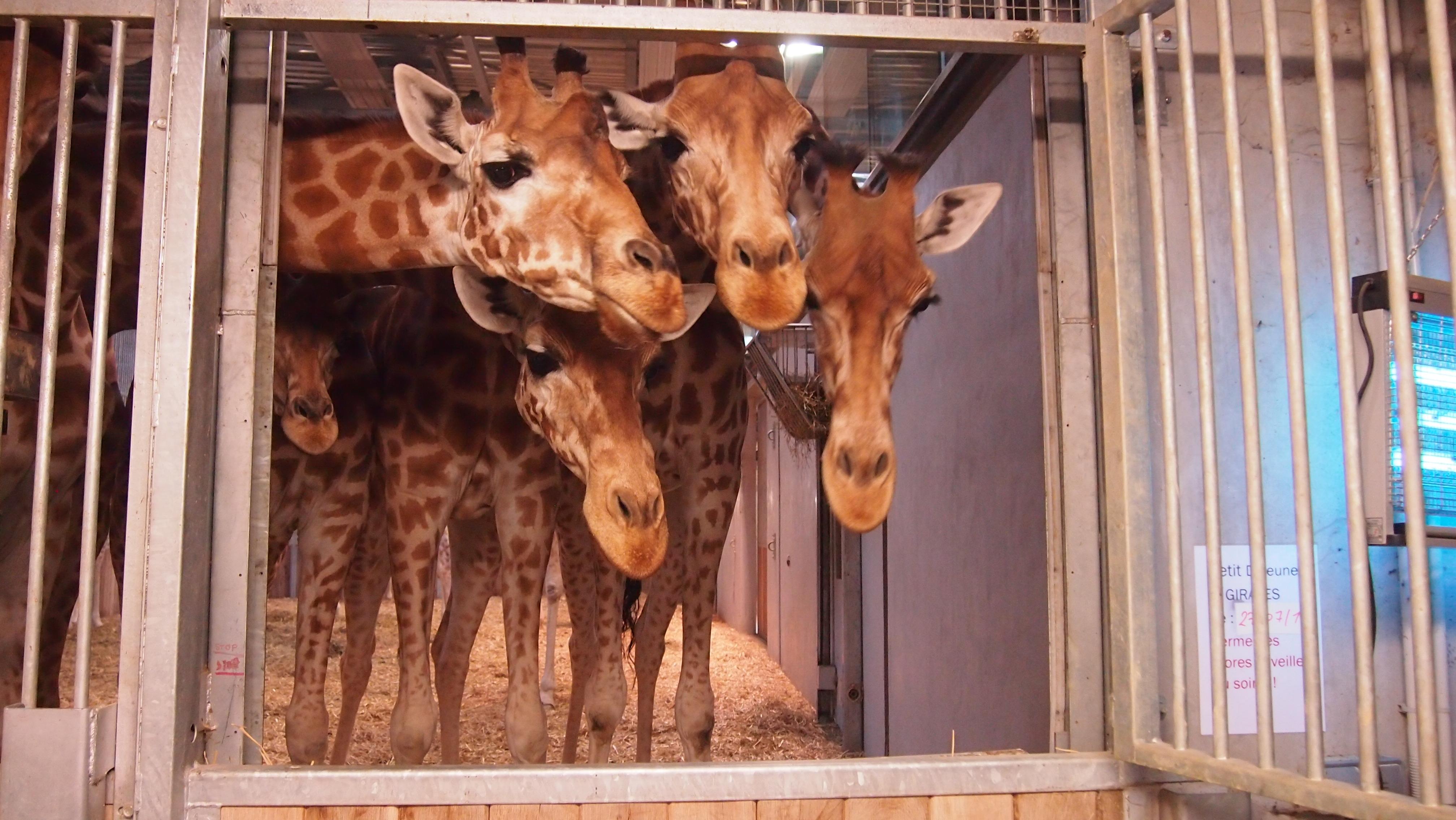 Les girafes : curieuses de tout et gourmandes.. de céleri en particulier