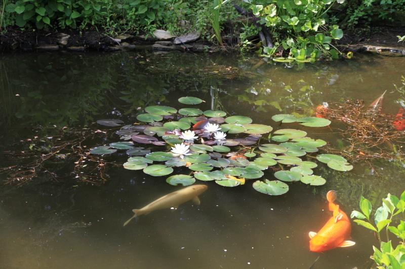 Carpes Koï au jardin aquatique