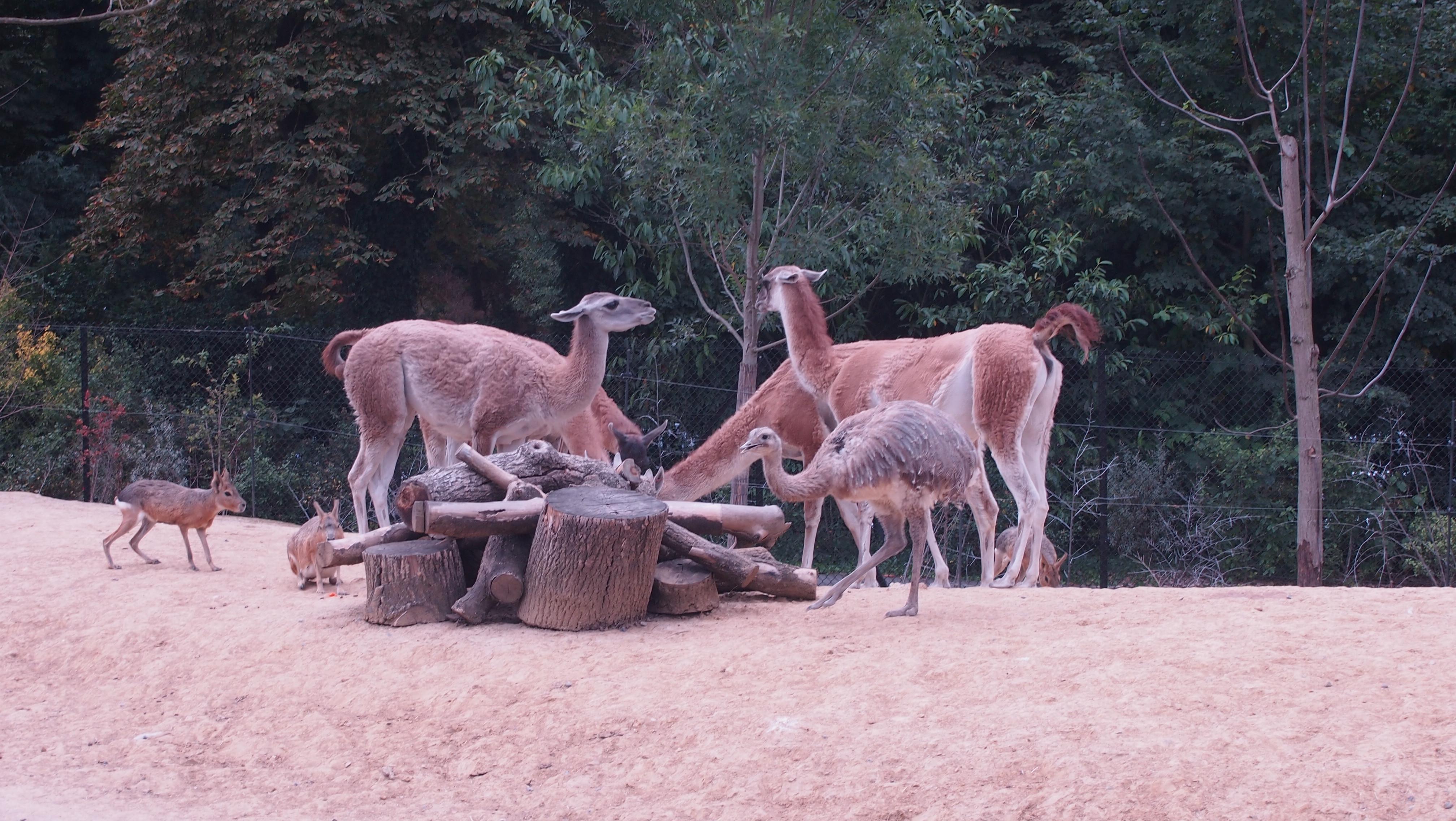 Maras, guanacos et nandous de Darwin