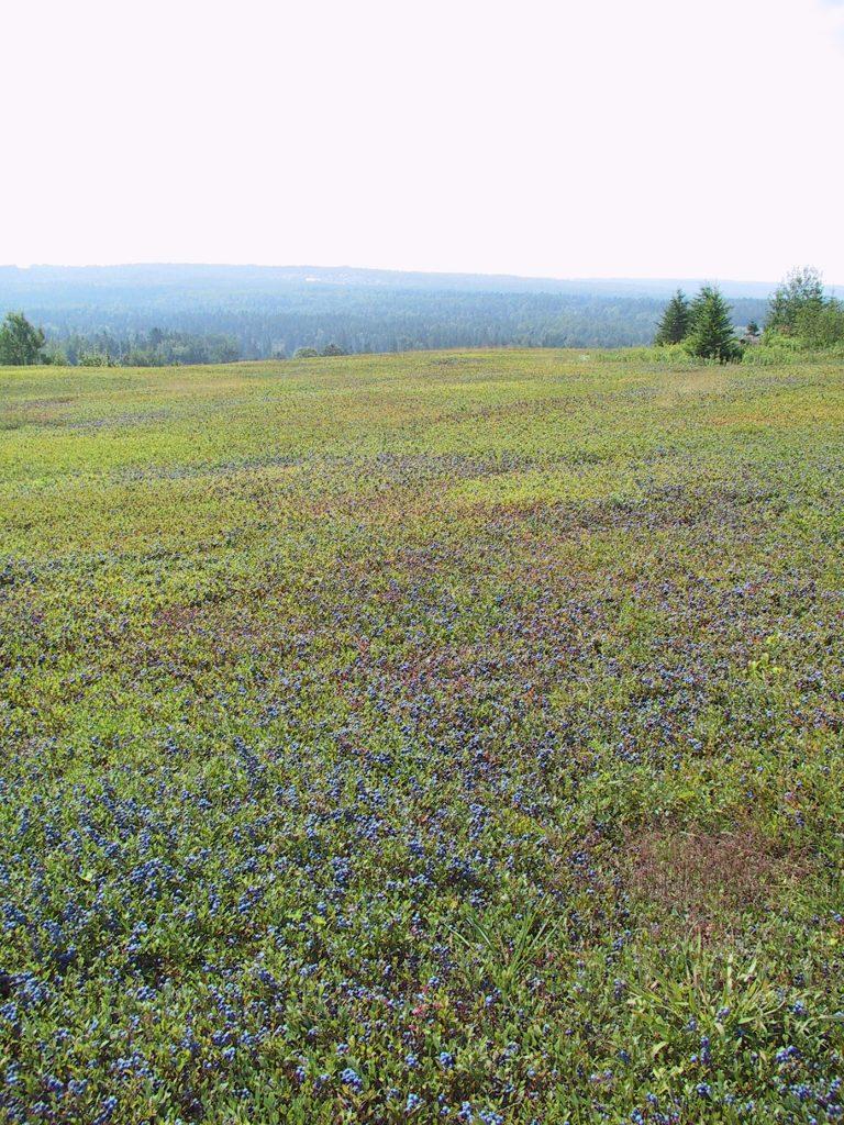 Un champ de myrtilles sauvages